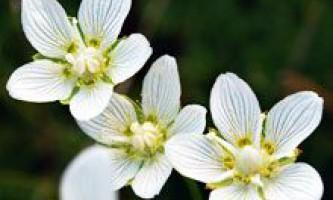 Білозір болотний: застосування і протипоказання. Лікування білозір болотний: народні рецепти