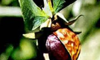 Ефірна олія жожоба: застосування, користь і властивості. Ефірна олія жожоба для шкіри і волосся. Рецепти з маслом жожоба