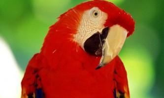 Як лікувати кліщ у папуги?