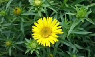Лікувальні властивості рослини оман