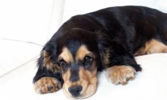 Симптоми і лікування кліщового енцефаліту у тварин